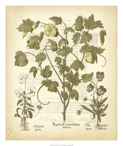 Tinted Besler Botanical IV Giclee Print