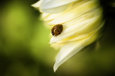 Ladybug II Photographic Print