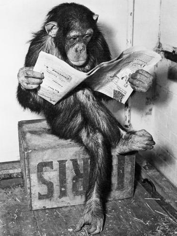 Chimpanzee Reading Newspaper Photographic Print