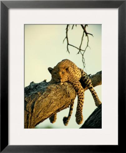 A Leopard Lounges in a Tree Framed Photographic Print