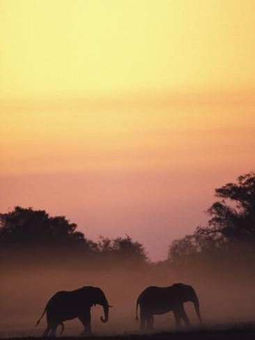 African Elephant Taking a Dust Bath at Sunset Photographic Print