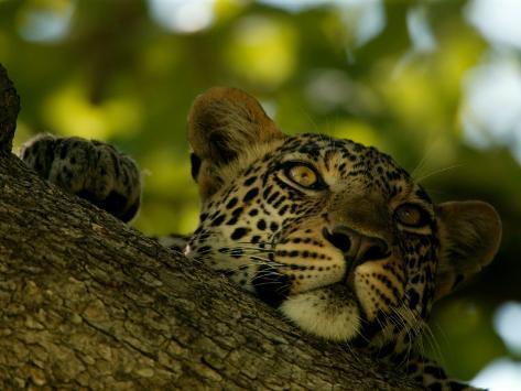 Close-Up of a Leopard Lying on a Tree Branch, Mombo, Okavango Delta, Botswana Photographic Print