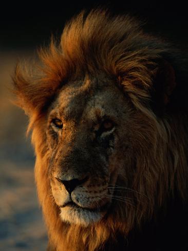 Close View of a Male Lion (Panthera Leo) Photographic Print