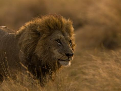 Male African Lion, Panthera Leo, in Golden Grasslands Photographic Print