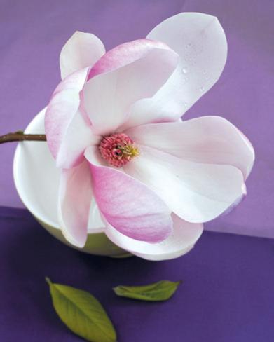 Composition Zen : Fleur de Magnolia Art Print