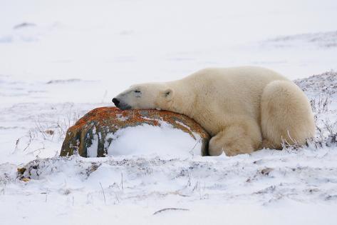 Polar Bear Resting, Churchill, Hudson Bay, Manitoba, Canada, North America Photographic Print