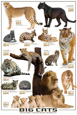 Types Of Big Cats In The World