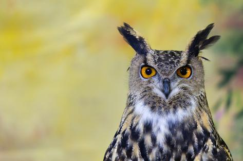 Spotted Eagle-Owl Photographic Print