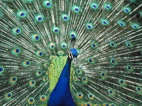 Peacock Spreading Colorful Feathers Photographic Print