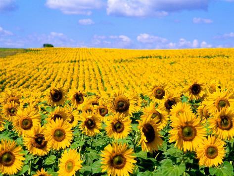 Wild Colors of Sunflowers, Jamestown, North Dakota, USA Photographic Print