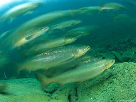 A Group of Atlantic Salmon Swim Close Together Photographic Print