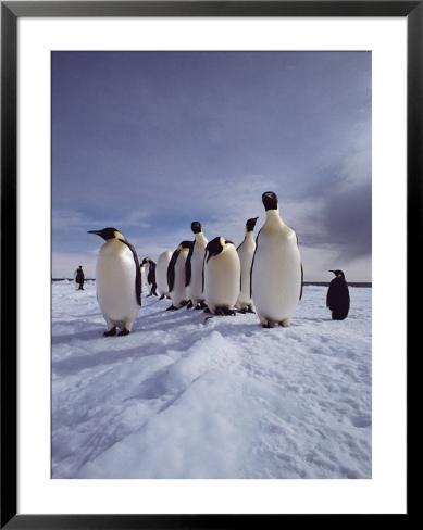 A group of emperor penguins, Aptenodytes forsteri, standing on ice Framed Art Print
