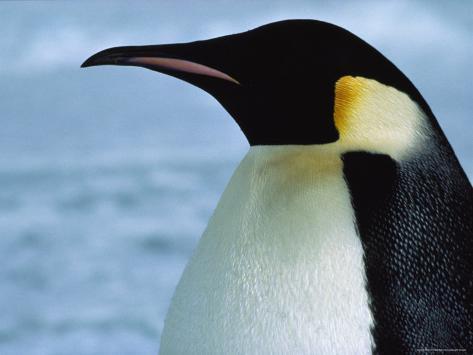 Portrait of an Emperor Penguin in Profile Photographic Print