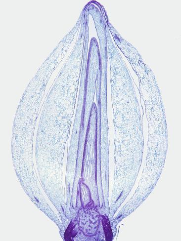 Longitudinal Section of an Onion Bulb (Allium) a Monocot, LM X2 Stampa fotografica