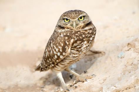 Serious Looking Burrowing Owl Photographic Print