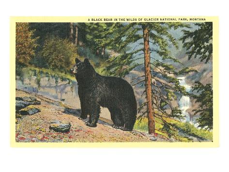 Black Bear, Glacier Park, Montana Art Print