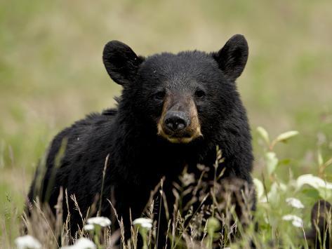 Black Bear (Ursus Americanus), Alaska Highway, British Columbia, Canada, North America Photographic Print