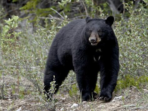 Black Bear (Ursus Americanus), Banff National Park, Alberta, Canada, North America Stampa fotografica