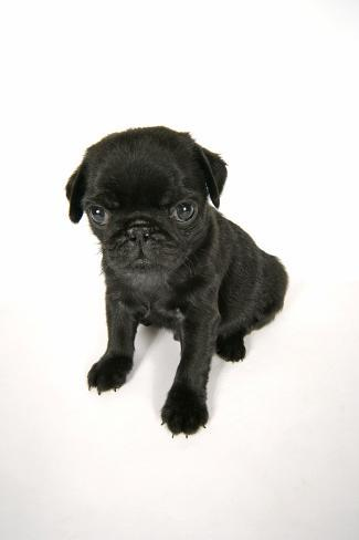 Black Pug Puppy 6 Weeks Old Photographic Print At Allposterscom