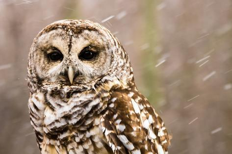 A Barred Owl in the Snow Photographic Print