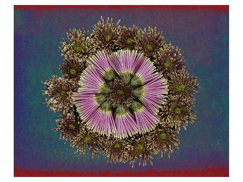 Blue pink red Chrysantheum Mandala Taidevedos