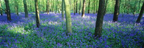 Bluebells in a Forest, Charfield, Gloucestershire, England Valokuvavedos