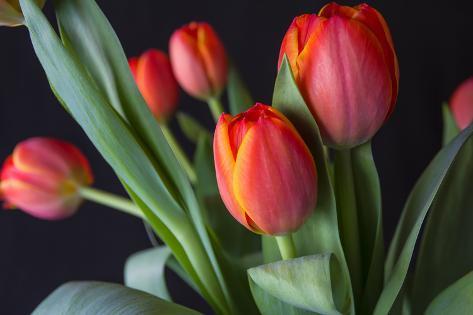 Spring Tulips Stampa fotografica