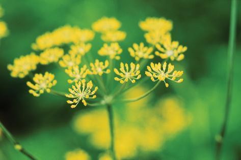 Blooming Dill Valokuvavedos