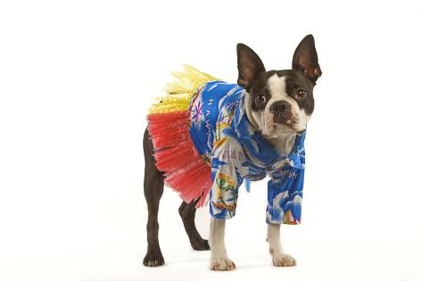 Boston Terrier In Studio Wearing Hawaii Shirt Photographic Print