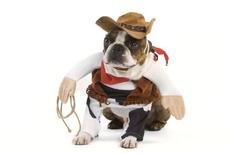 Boston Terrier Wearing Cowboy Outfit Photographic Print Allposters