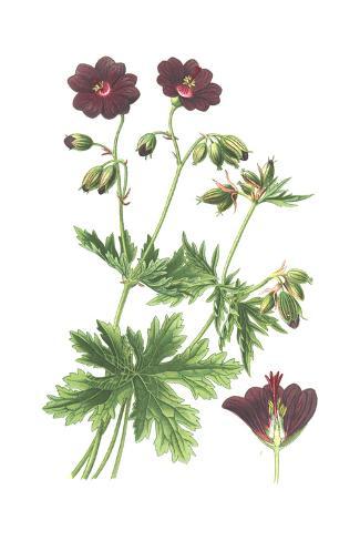 Botanical Drawing of Deep Purple Geranium Art Print