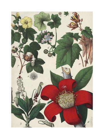 Botanical Drawing of Various Tropical Flowers Premium Giclee Print