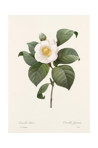Botanical Drawing of White Camellia Flower Art Print