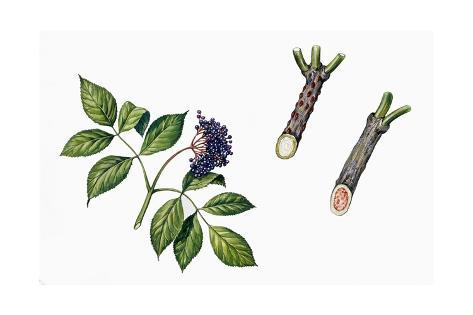 Botany, Trees, Adoxaceae, Fruits and Branches of Elderberry Sambucus Nigra Stampa giclée