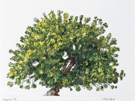 Botany, Trees, Fabaceae, Carob Tree or St John's Bread Ceratonia Siliqua Stampa giclée