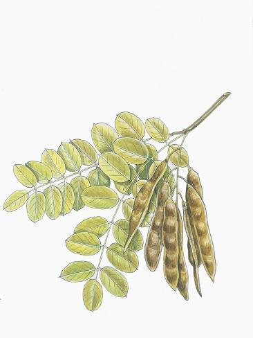 Botany, Trees, Fabaceae, Leaves and Fruits of Robinia Robinia Pseudoacacia Stampa giclée