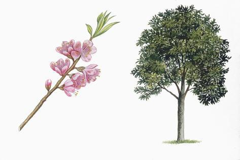 Botany, Trees, Rosaceae, Peach Prunus Persica and Branch with Flowers Stampa giclée