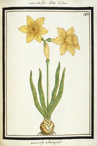 Bouquet Narcissus, C.1700 Stampa giclée