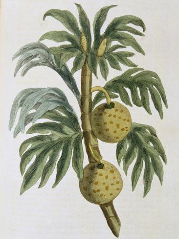 Breadfuit (Artocarpus Incisu), 1823 Giclée-vedos