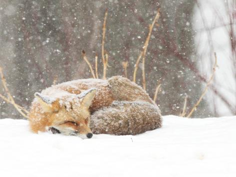 Red Fox sleeping in snow in Maryland Impressão fotográfica