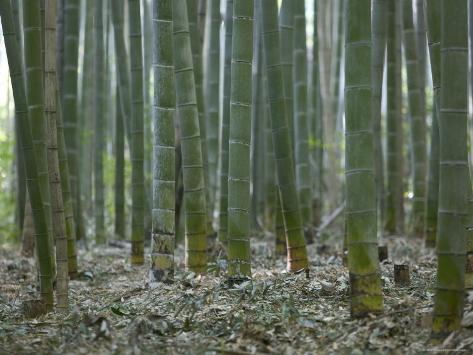 Bamboo Grove on Approach to Okochi Denjiro's Villa, Kyoto, Kinki, Japan Photographic Print