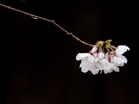Cherry Blossom Detail Photographic Print