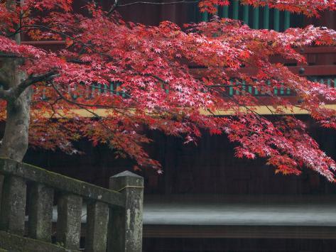 Red Autumn Tree at the Nikko-San Rinnoji Temple, Nikko, Kanto, Japan Photographic Print