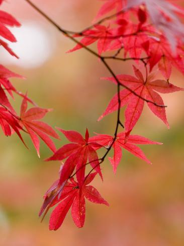 Red Maple Leaves at Okochi-Sanso Villa Teahouse and Gardens Fotoprint
