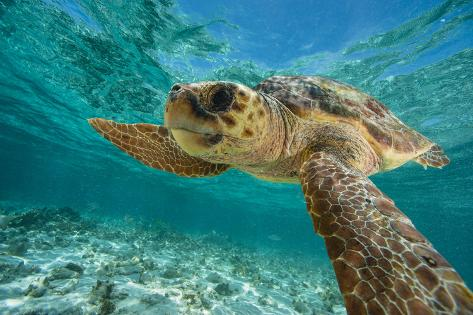 A Loggerhead Turtle Swims in Hol Chan Marine Reserve Photographic Print