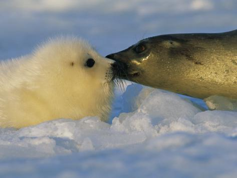 A Mother Harp Seal Sniffs Her Pup for Instant Recognition Photographic Print