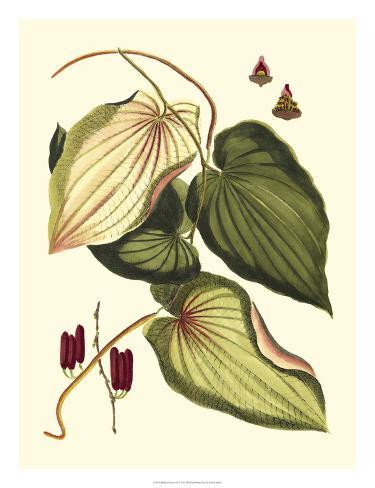 Buchoz Leaves III Giclee Print