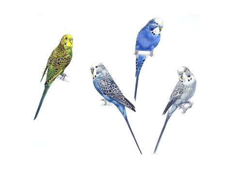Budgerigars (Melopsittacus Undulatus) in Different Colours: Green, Purple, Blue and Grey Stretched Canvas Print