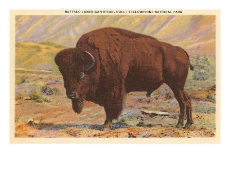 Buffalo, Yellowstone Park, Montana Art Print