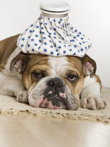 Bulldog with an icepack on head Stretched Canvas Print